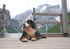 large-and-fluffy-bernese-mountain-dog-lying-on-the-JWN5LRK