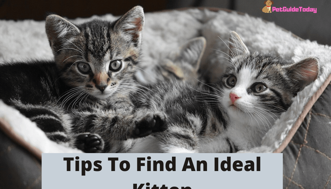 Tips To Find An Ideal Kitten
