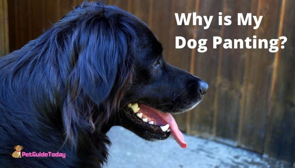 Why is My Dog Panting? – Expected Panting In Dogs